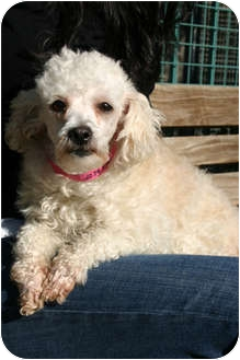 Poodle (Miniature) Mix Dog for adoption in Los Angeles, California - CHAMONIX