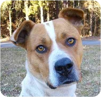 American Bulldog/Akita Mix Dog for adoption in Mocksville, North Carolina - Scarlett