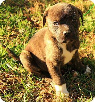 Boxer/Terrier (Unknown Type, Medium) Mix Puppy for adoption in Hagerstown, Maryland - Courtland