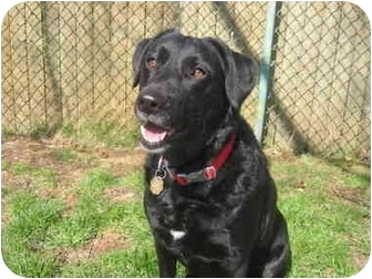 Labrador Retriever/Curly-Coated Retriever Mix Dog for adoption in Warren, New Jersey - Maddie