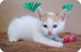 Domestic Shorthair Kitten for adoption in Bradenton, Florida - Rufio
