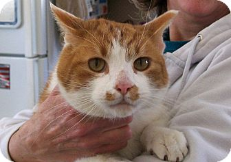 Domestic Shorthair Cat for adoption in Lombard, Illinois - Tweedy