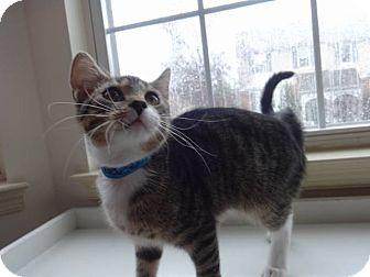 Domestic Shorthair Kitten for adoption in Colmar, Pennsylvania - Dozer