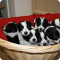Adopt A Pet :: Jigsaw Pups and Mama - Salt Lake City, UT