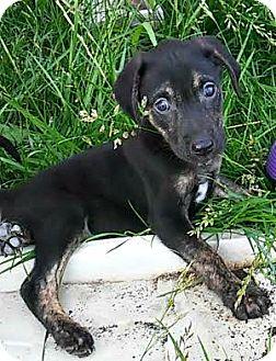 Labrador Retriever Mix Puppy for adoption in ST LOUIS, Missouri - Craig