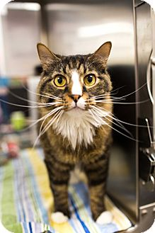 Maine Coon Cat for adoption in Keller, Texas - Waylon