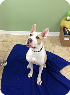 Pit Bull Terrier Mix Dog for adoption in levittown, New York - Georgetta