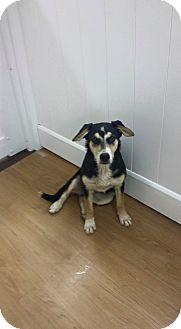 German Shepherd Dog/Labrador Retriever Mix Puppy for adoption in Valencia, California - Jaina