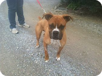 Boxer Dog for adoption in Brentwood, Tennessee - Stanley