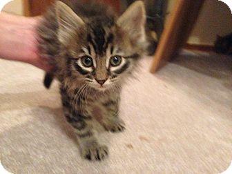 Domestic Longhair Kitten for adoption in Manhattan, Kansas - Charlie