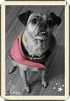Pug/Chihuahua Mix Dog for adoption in Owatonna, Minnesota - Rosa
