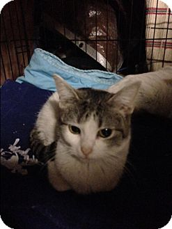 Domestic Shorthair Kitten for adoption in Newtown, Connecticut - Clementine