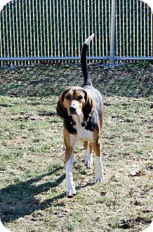 Hound (Unknown Type) Mix Dog for adoption in Peace Dale, Rhode Island - Luke