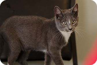 Domestic Shorthair Cat for adoption in Seneca, South Carolina - Sloan $75