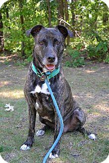 Plott Hound Mix Dog for adoption in Brookhaven, New York - Salsa