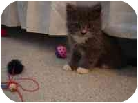 Domestic Longhair Kitten for adoption in Blacksburg, Virginia - Maurice