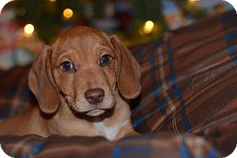 Dachshund Mix Puppy for adoption in Prior Lake, Minnesota - Scout