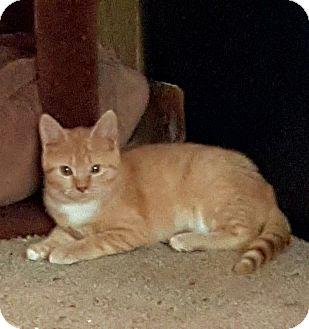 Domestic Shorthair Kitten for adoption in Ortonville, Michigan - Sweet Pea