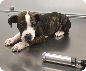 American Staffordshire Terrier Mix Puppy for adoption in Bronx, New York - Dora
