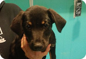 Retriever (Unknown Type) Mix Puppy for adoption in Walden, New York - Charlie