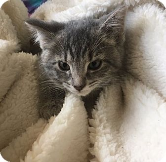 Domestic Shorthair Kitten for adoption in Toledo, Ohio - Kami