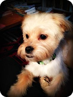 Cairn Terrier/Terrier (Unknown Type, Small) Mix Dog for adoption in Tijeras, New Mexico - Charlie Boy