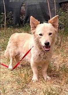 Corgi/Jindo Mix Dog for adoption in Encino, California - Gypsy