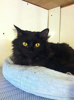 Domestic Longhair Cat for adoption in Cincinnati, Ohio - Frankie