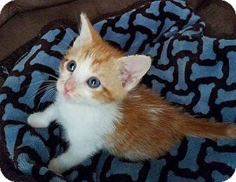Domestic Shorthair Kitten for adoption in Savannah, Georgia - Jane