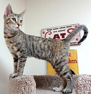 Domestic Shorthair Cat for adoption in Studio City, California - Dora (CP)