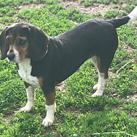 Adopt A Pet :: Rossi - Washington DC, DC