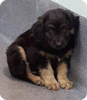 Spaniel (Unknown Type) Mix Puppy for adoption in Baytown, Texas - Adopt Me!