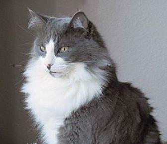 Domestic Longhair Cat for adoption in Encinitas, California - Dolly