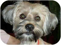 Lhasa Apso/Bichon Frise Mix Dog for adoption in anywhere in CA, California - aDOPTED