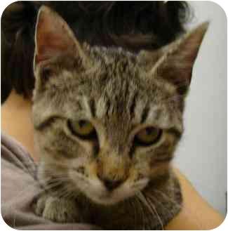 Domestic Shorthair Kitten for adoption in Houston, Texas - Tyler
