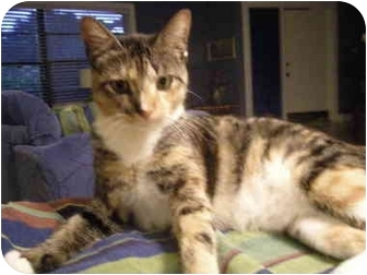 Domestic Shorthair Cat for adoption in Naples, Florida - Toby