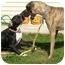 Photo 4 - Boxer/Mastiff Mix Dog for adoption in Turnersville, New Jersey - Sissy