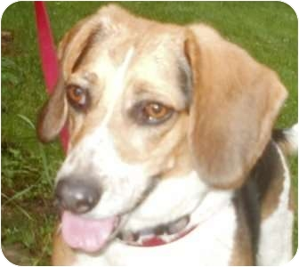 Beagle Dog for adoption in Freeport, Maine - Maggie - In Maine!
