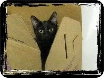 Siamese Cat for adoption in Pueblo West, Colorado - Black Diamond