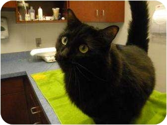 Domestic Shorthair Cat for adoption in Gainesville, Florida - Isis