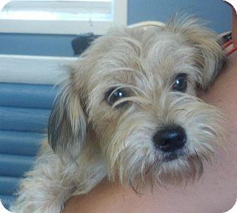 Terrier (Unknown Type, Small)/Shih Tzu Mix Dog for adoption in Washington, D.C. - Benjamin