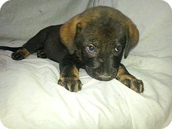 German Shepherd Dog/Shepherd (Unknown Type) Mix Puppy for adoption in Ocala, Florida - Rylie