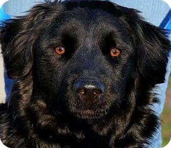Golden Retriever/Labrador Retriever Mix Dog for adoption in Wakefield, Rhode Island - SHALLOW-SMART-PLAYFUL-GORGEOUS