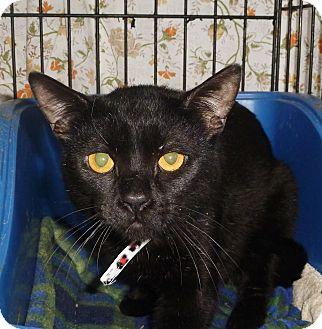 Domestic Shorthair Cat for adoption in Pueblo West, Colorado - Remus