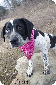 Spaniel (Unknown Type) Mix Dog for adoption in Poland, Ohio - SARAH // 3