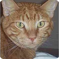 American Shorthair Cat for adoption in Elk Grove, California - Wally