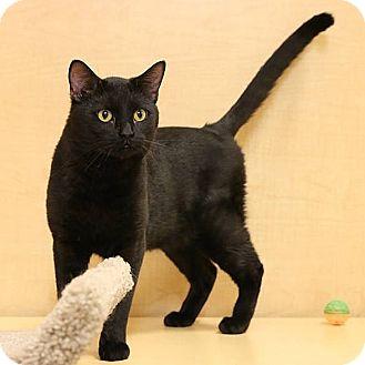 Domestic Shorthair Cat for adoption in Columbia, Illinois - Binx
