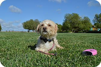Cairn Terrier Mix Dog for adoption in Irvine, California - Shadow-WATCH MY VIDEO!!
