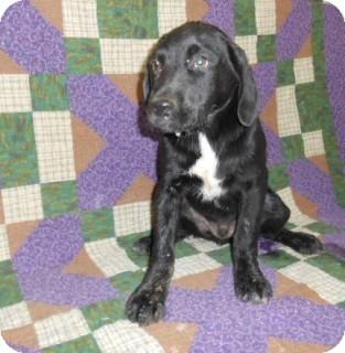 Labrador Retriever Mix Dog for adoption in East Hartford, Connecticut - Ryder meet me 6/20