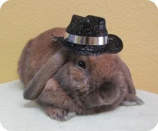 Mini Lop Mix for adoption in Benbrook, Texas - Cutie